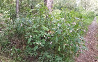 Invasive Himalayan Balsam, Invasive Species, Invasive