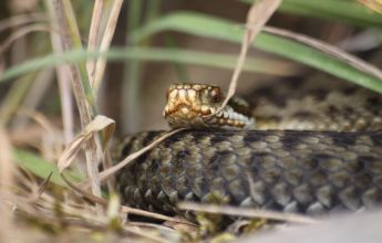 Adder, Reptiles, Reptile Surveys