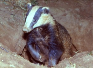 Badger, Badger Survey