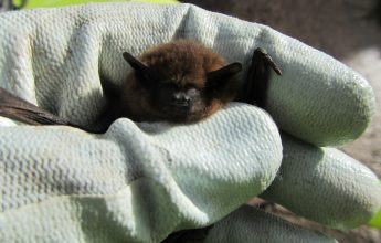Saved from demolition, Bat, Rescued Bat, Pip