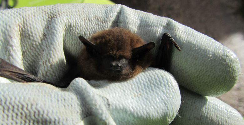 Saved from demolition, Bat, Rescued Bat, Pip