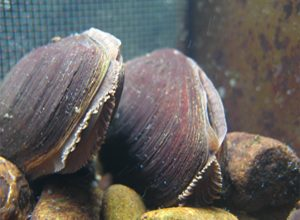 Freshwater pearl musselsl,Fresh Water Pearl Muscles Surveys