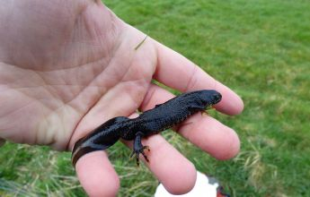Refuge Surveys,Great Crested Newt's at Pickering Showground, GCN, Great Crested Newt,great crested newts