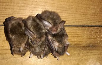 Hibernating bats, Hibernation Survey