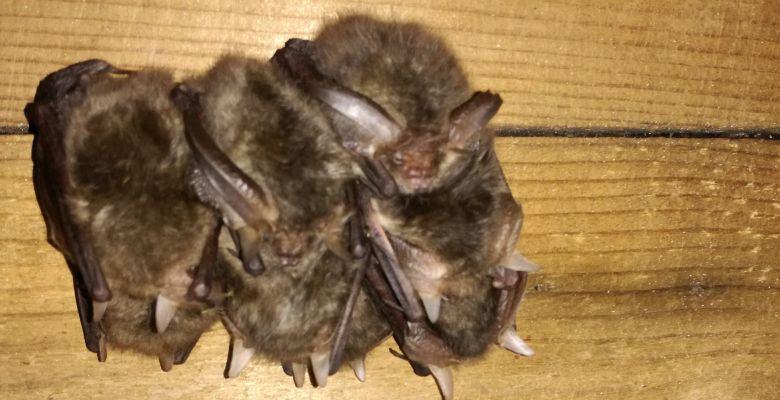 Hibernating bats, Hibernation Survey
