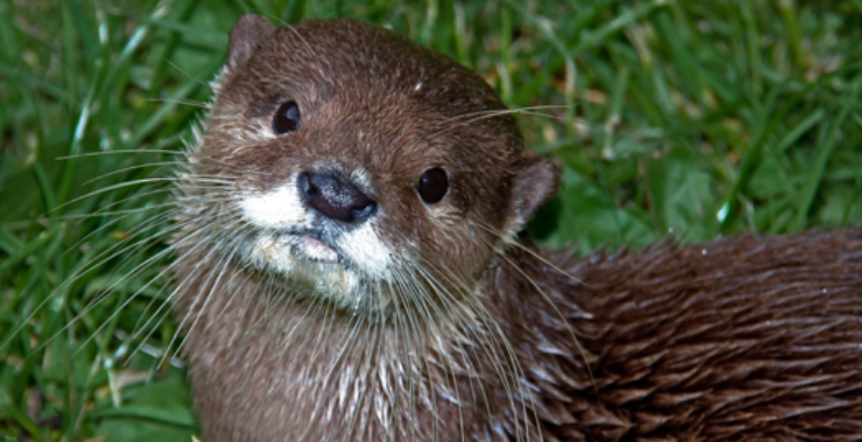 Otter, otters, otter survey,Otter Surveys