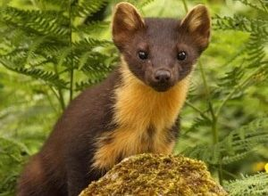Pine martens, Pine Marten Breeding Den Surveys