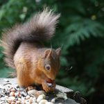 Red Squirrel,Red Squirrel - Transect Survey