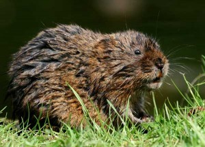 Water Vole, Water Voles Surveys