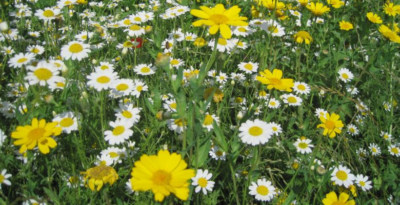corn marigold and feverfew