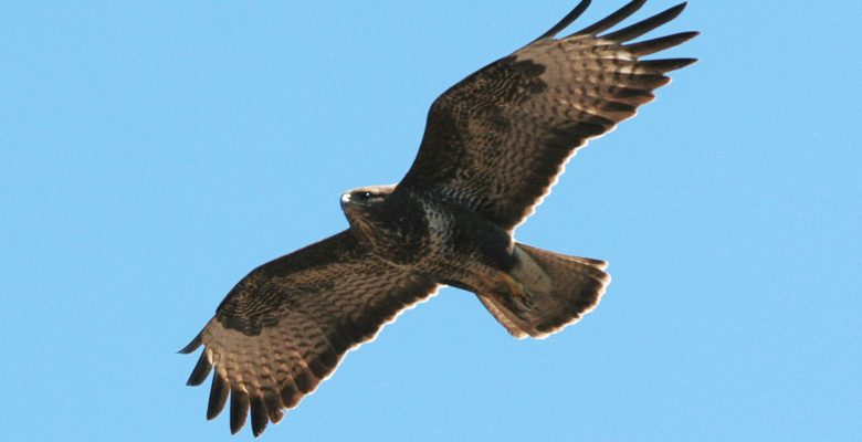 buzzard, bird, bird survey