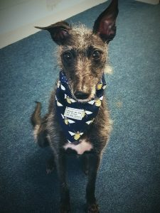 Belle the Lurcher, Laura Linsley's dog