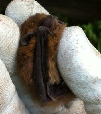 Claire Snowball, Bat Mitigation Class Licence (BMCL)