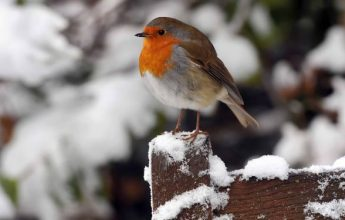 12 Days of Robin Facts, by Laura Parsons