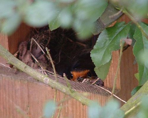 12 Days of Robin Facts, by Laura Parsons, Assistant Ecologist, EcoNorth