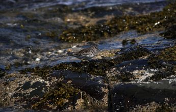 Wintering Bird Surveys, Purple Sandpiper