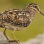 Breeding Bird photo (Snipe) taken by David Gill