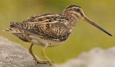 Breeding Bird photo (Snipe) taken by David Gill