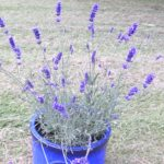 30 Days Wild Challenge, Lavender Pot