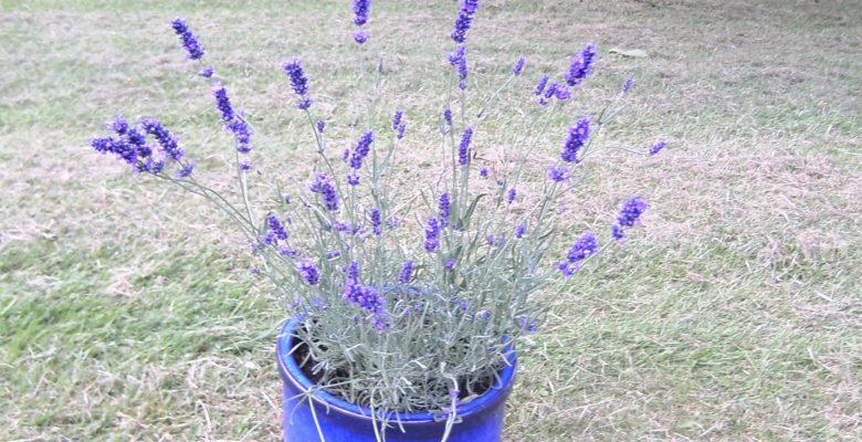 30 Days Wild Challenge, Lavender Pot