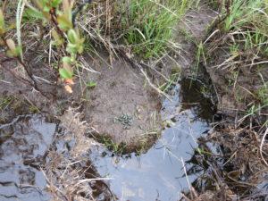 Water vole latrine